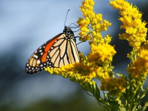 monarch on golden